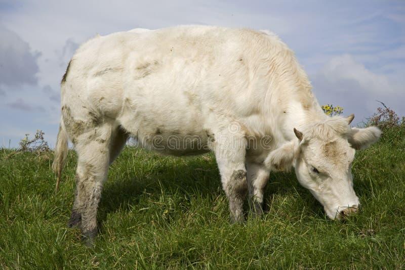 Weiße Kuh stockbild