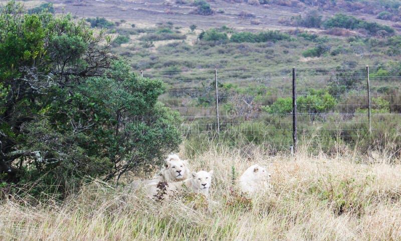 Weiße Löwen lizenzfreies stockbild