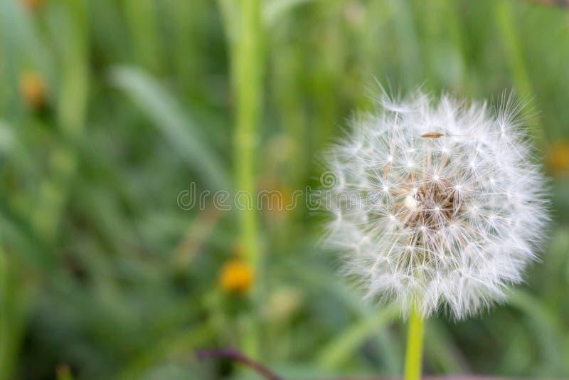 Weiße Löwenzahnblume in unfocused grünem Gras Rote und gelbe Farben Weißes Blowballmakro Feld und Wiesenhintergrund lizenzfreies stockfoto
