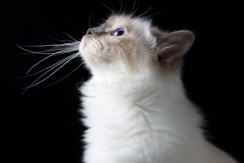 Weiße langhaarige Katze Browns, die oben schaut stockbilder