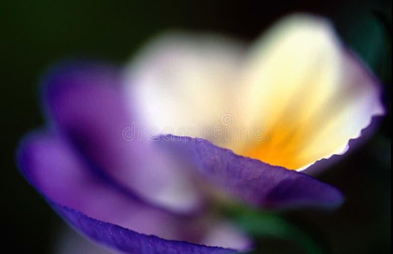 Download Weiße Leuchte stockbild. Bild von blau, gelb, pansy, sommer - 26407