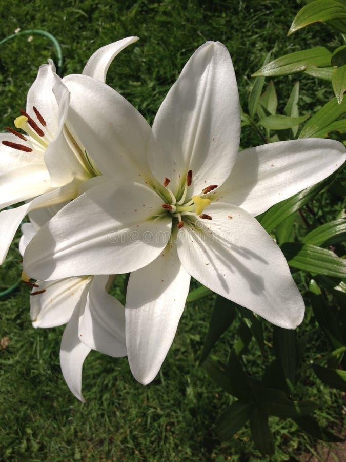 Weiße Lilie, lizenzfreies stockbild