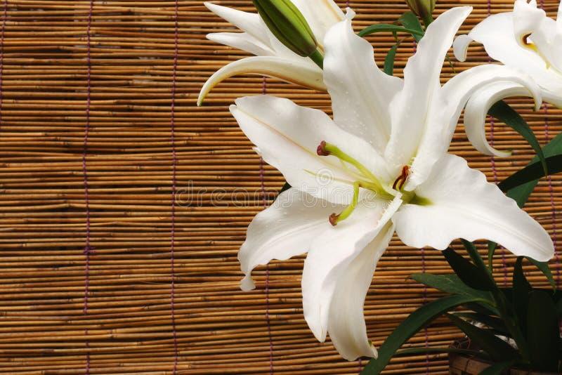 Weiße Lilie stockfotografie