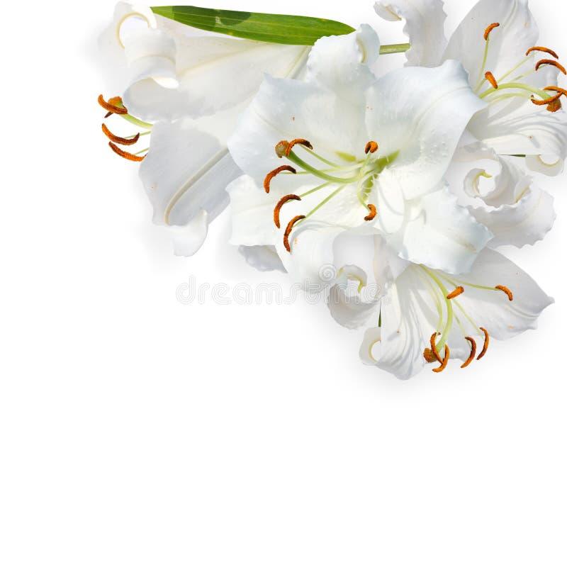 Weiße Lilie lizenzfreie stockfotos