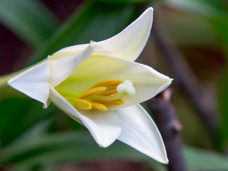 Weiße Lilie stockfoto