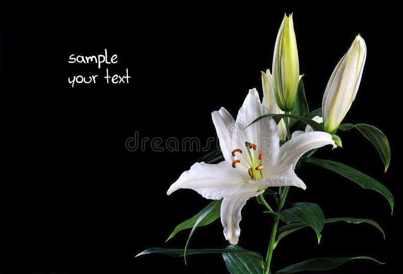 Weiße Lilie Auf Schwarzem Lizenzfreie Stockbilder