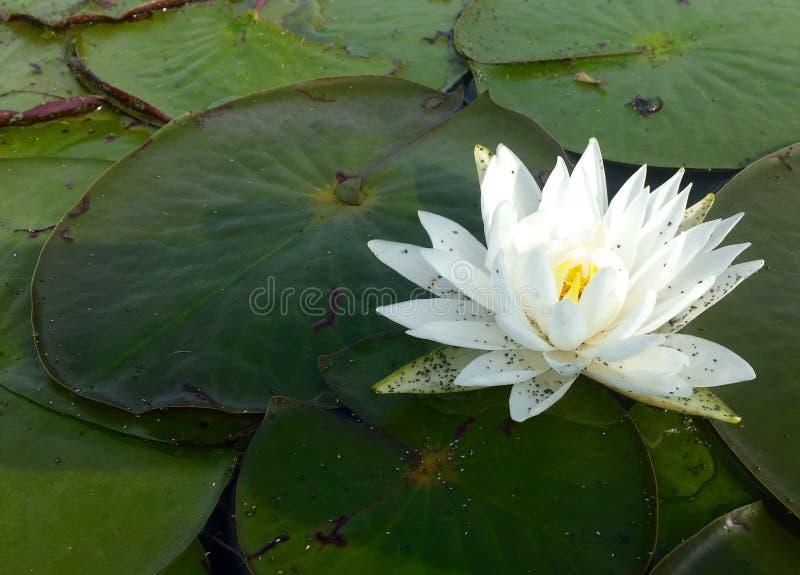 Weiße Lilie auf Teich lizenzfreies stockbild