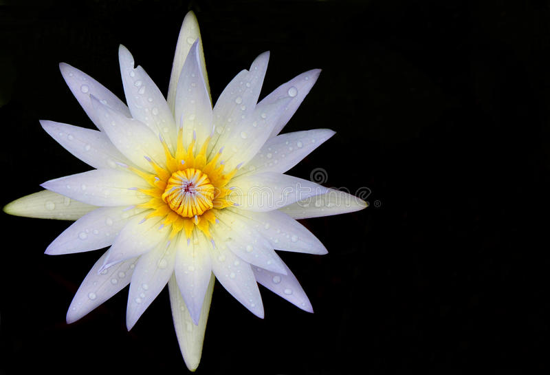 Weiße Lilie des Wassers mit Tau Blume auf schwarzem Hintergrund lizenzfreie stockbilder