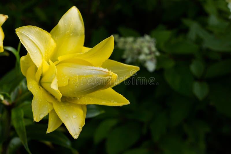 Weiße Lilie, Longflower-Lilie, Nahaufnahme der gelben Lilie blühen in voller Blüte Schöner gelber Hemerocallis auf grüner Natur stockfotografie