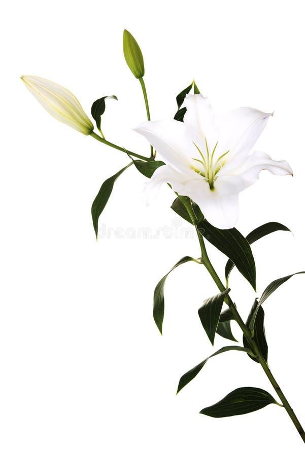 Weiße Lilie und eine Knospe stockfotografie
