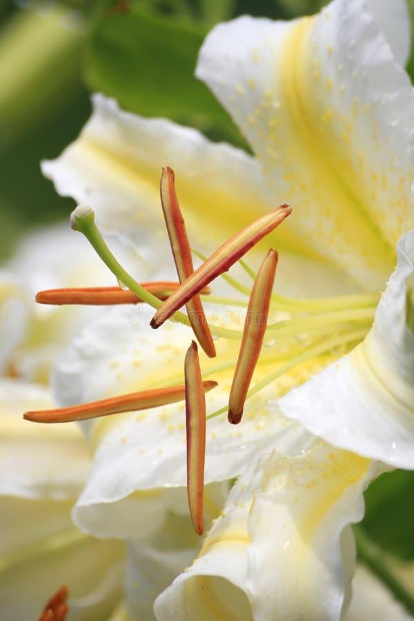 Weiße Lilien-Blume lizenzfreie stockfotos