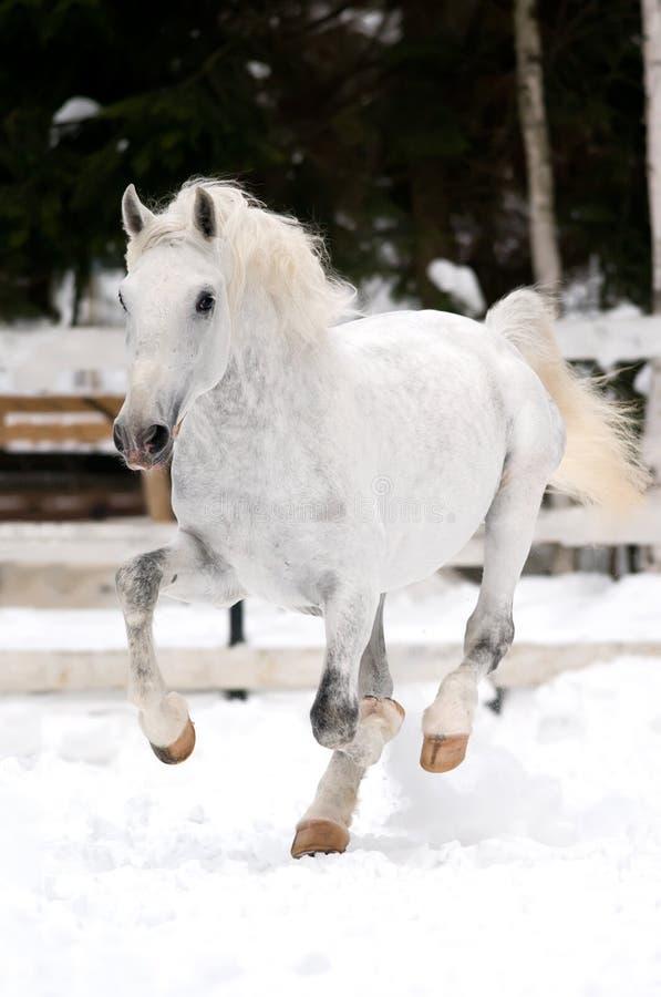 Weiße Lipizzan Pferdenlack-läufer galoppieren in Winter lizenzfreie stockfotografie