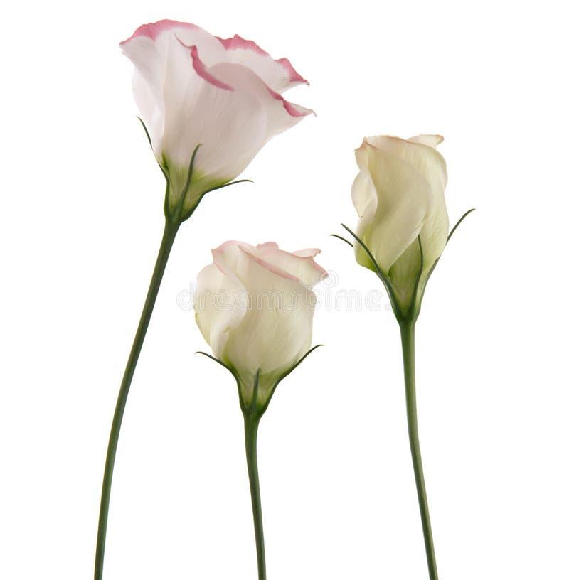 Weiße lisianthus Blumen stockfotos