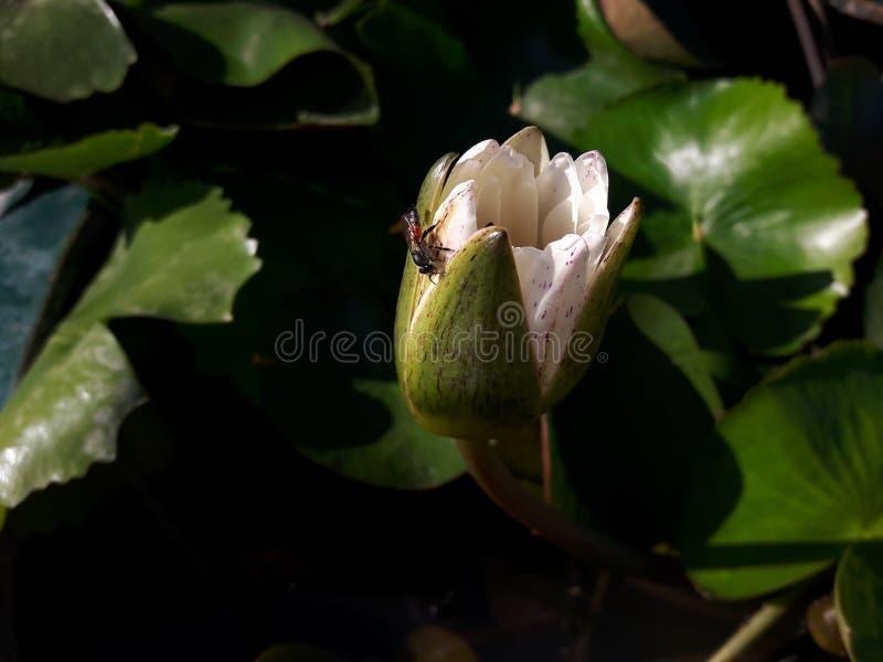 Weiße Lotus mit Biene lizenzfreies stockbild