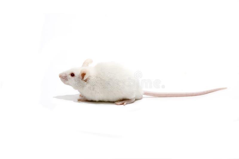 Weiße Mäuse getrennt lizenzfreies stockbild