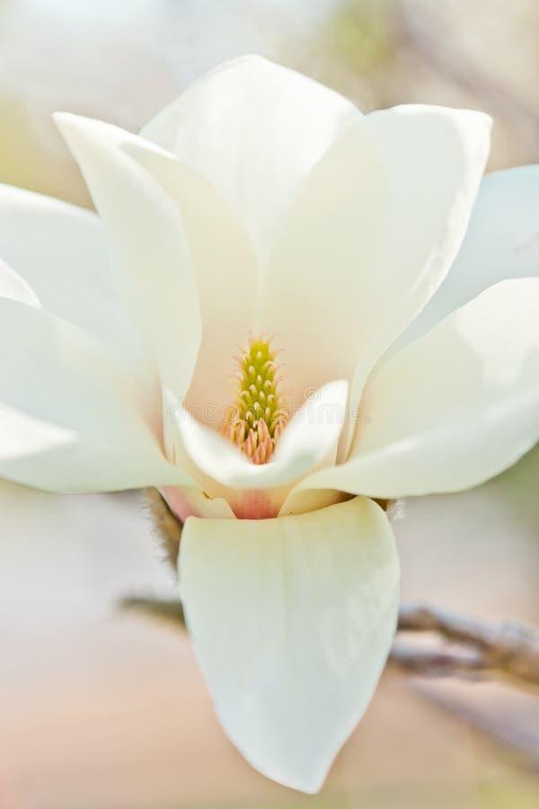 Weiße Magnolie stockfotografie