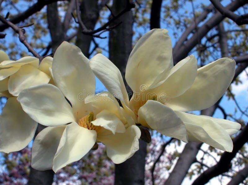 Weiße Magnolie stockbilder