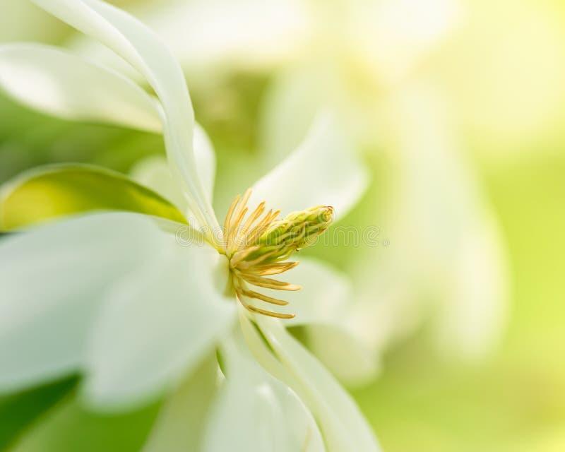 Weiße Magnolie-Blüte stockbilder