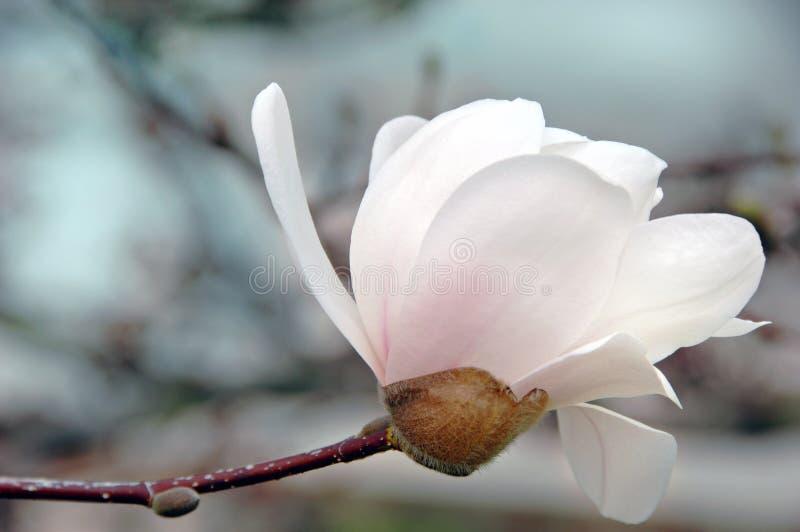 Weiße Magnolie-Blüte stockbild