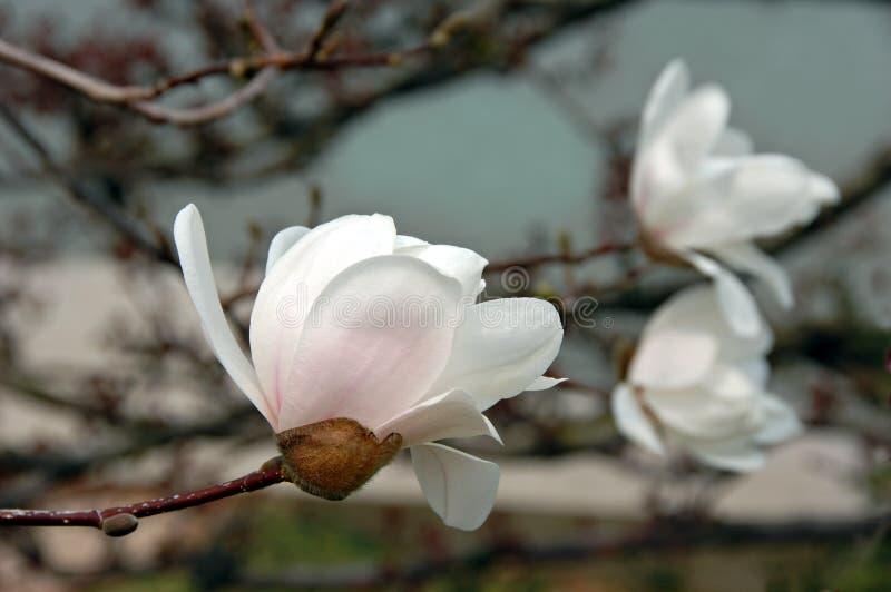 Weiße Magnolie-Blüten lizenzfreies stockfoto