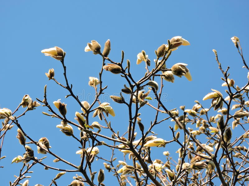 Weiße Magnolie dröhnt im Frühjahr stockfotos