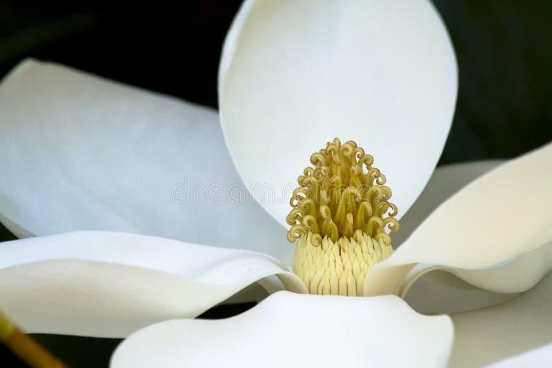 Weiße Magnolieblume stockbilder