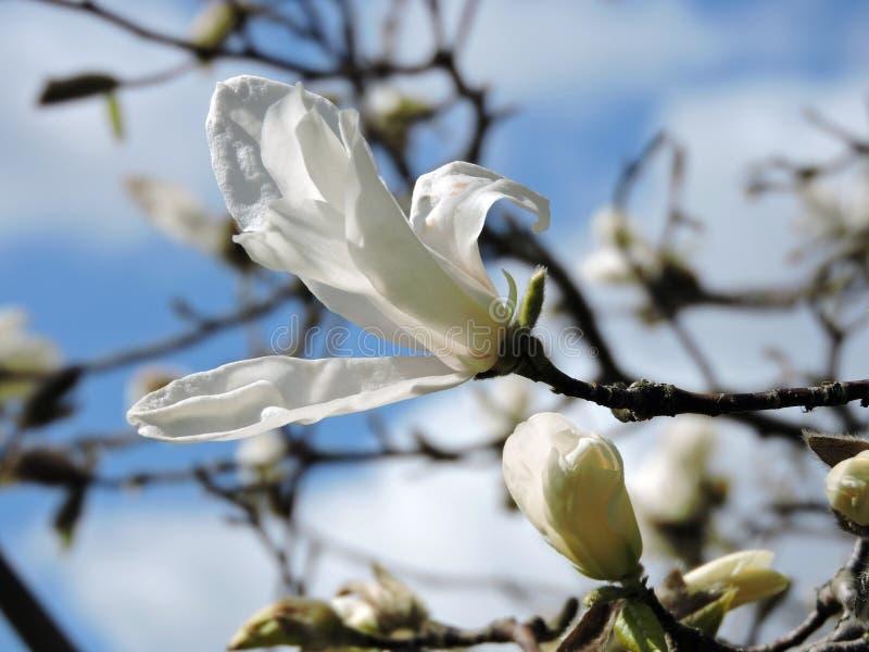 Weiße Magnolienblüte stockbilder