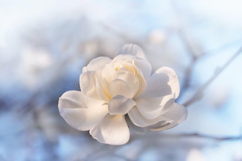 Weiße Magnolienblüte mit dem weichen Hintergrund im Freien stockfoto