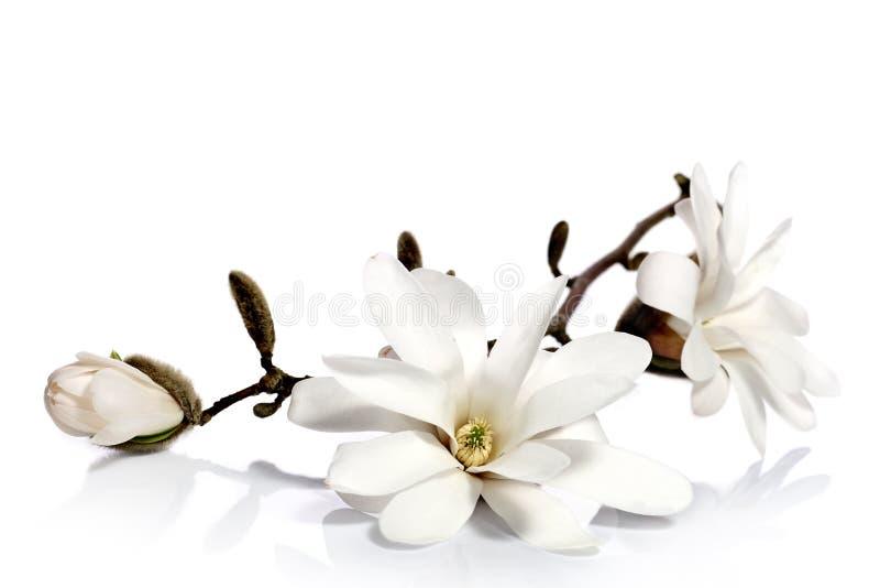 Weiße Magnolienblumen lizenzfreies stockfoto