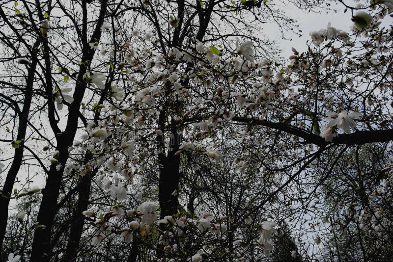 Weiße Magnolienblumen auf einem Baum in einem Park im Vorfrühling lizenzfreie stockfotografie