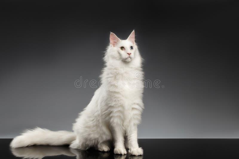 wei e maine coon cat mit den verschiedenen sitzenden augen schwarzer hintergrund stockfoto. Black Bedroom Furniture Sets. Home Design Ideas