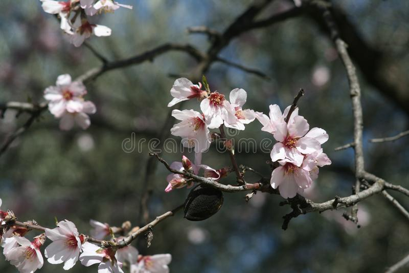 Weiße Mandel-Blüten stockfotografie