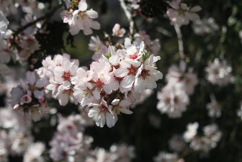 Weiße Mandel-Blüten stockfoto