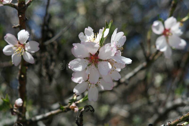 Weiße Mandel-Blüten lizenzfreies stockfoto