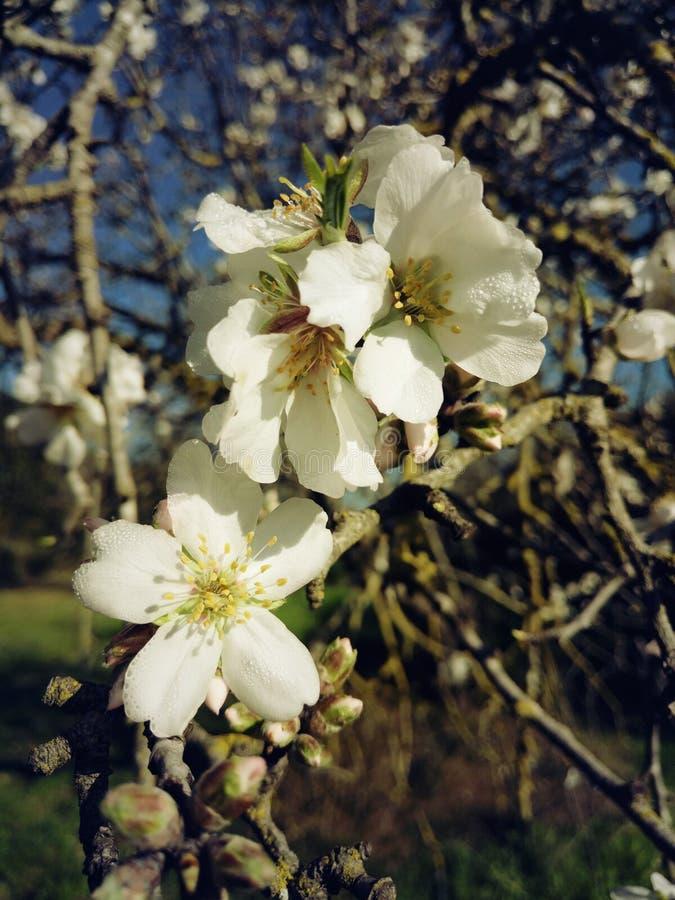weiße Mandelblüte lizenzfreies stockfoto
