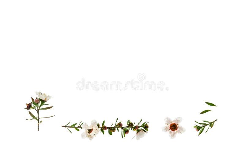 Weiße manuka Blumen in der Blüte auf weißem Hintergrund mit Kopienraum oben stockbild