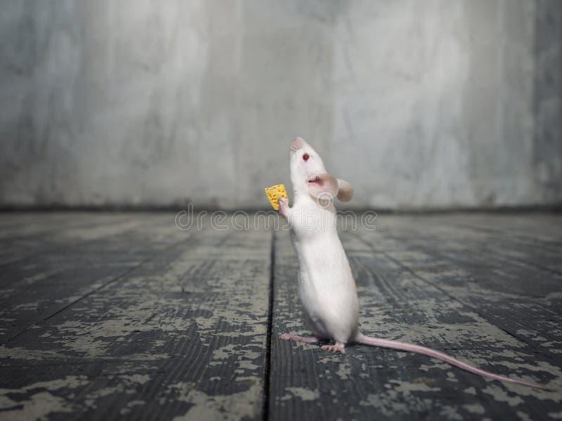 Weiße Maus mit einem Stück Käse lizenzfreies stockfoto
