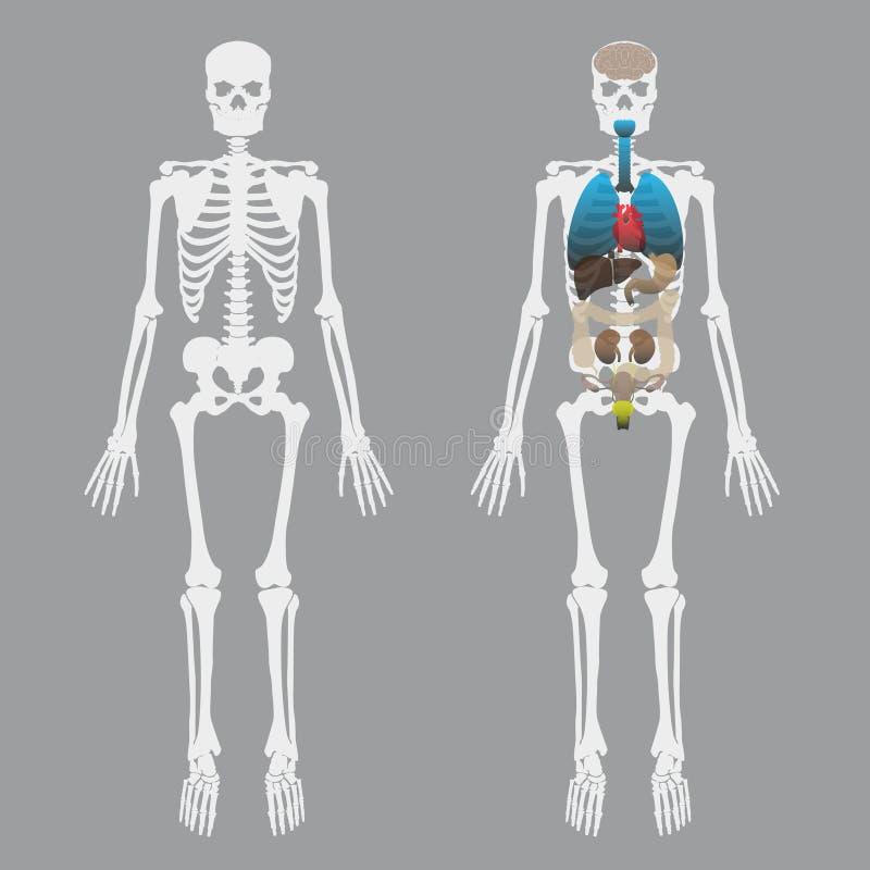 Weiße menschliche Knochen skeleton mit menschlichen Organen lizenzfreie abbildung