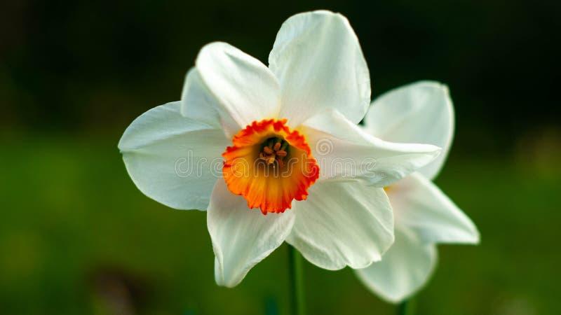 Weiße Mohnblume mit orange Mitte, in vollem reifem stockfoto