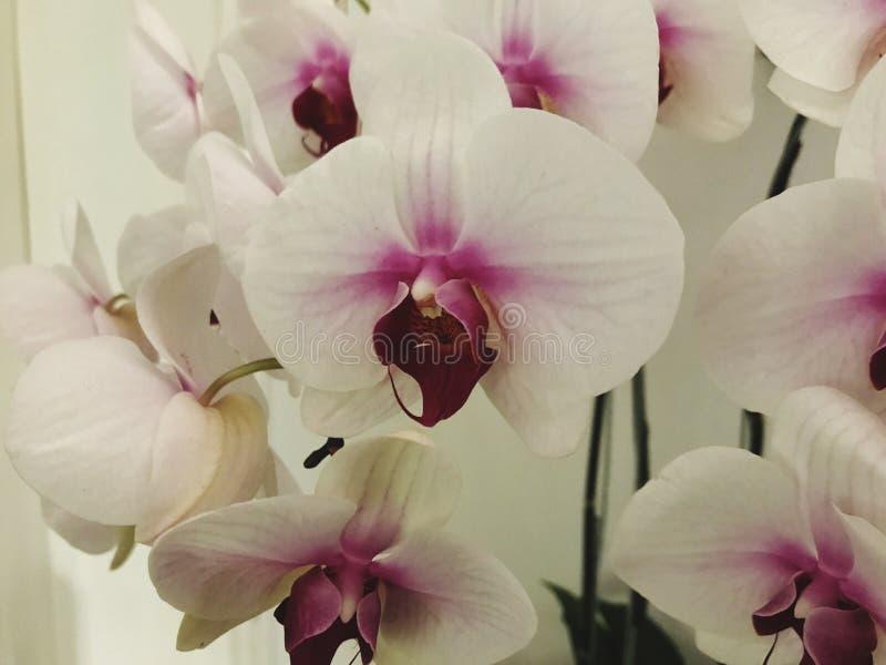 Weiße Mond-Orchidee geschossen als Nahaufnahme stockfotos