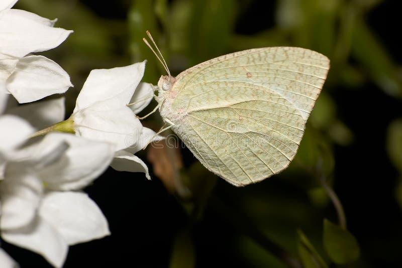Weiße Motte Auf Weißer Blume Stockfoto - Bild von einzeln, weiß: 1994902