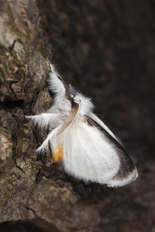 Weiße Motte, die auf Baum sitzt. stockfotografie