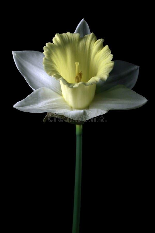 Download Weiße Narzisse stockbild. Bild von liebe, frech, grün, hintergrund - 31669