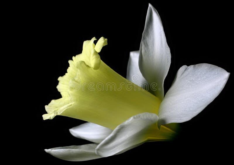Download Weiße Narzisse stockbild. Bild von nave, liebe, garten, schwarzes - 34087