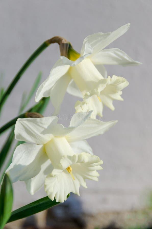 Weiße Narzisse Verticle stockfotos