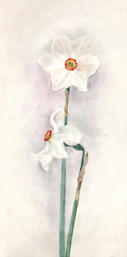 Weiße Narzissenaquarellmalerei lizenzfreie abbildung