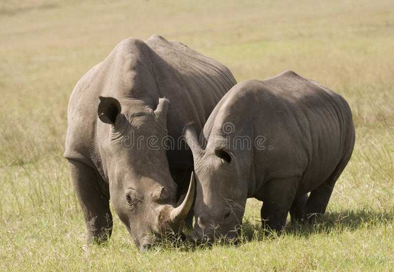 Weiße Nashorn-Mutter u. Schätzchen, Südafrika lizenzfreies stockbild