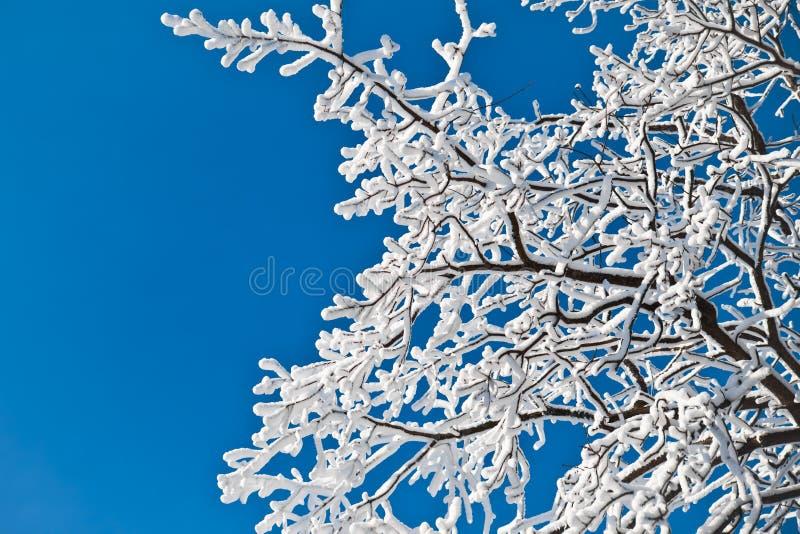 Weiße Niederlassungen von den Bäumen bedeckt mit einer starken Schicht weißem glänzendem Schnee gegen einen hellen blauen Himmel stockfotos