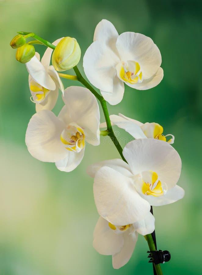 Weiße Niederlassungsorchidee Blüht Mit Grünen Blättern, Orchidaceae ...