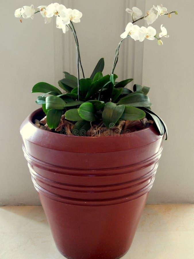 Weiße Orchidee stockfoto